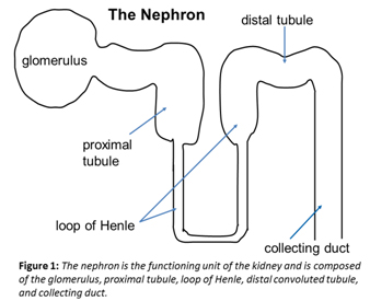 each nephron has 5 main parts: 1) the glomerulus, 2) the proximal tubule, 3)  the loop of henle, 4) the distal convoluted tubule, and 5) the collecting  ducts